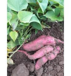 Søde kartofler. SOLSKIN