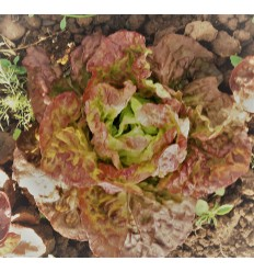 Salat, rød hovedsalat. SOLSKIN