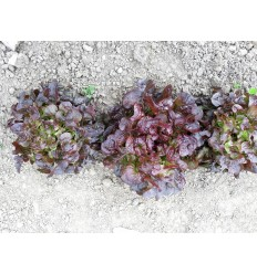 Salat, grøn egeblad. SOLSKIN