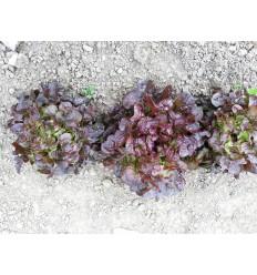 Salat, rød egeblad. SOLSKIN