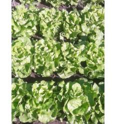 Salat, grøn hovedsalat. SOLSKIN