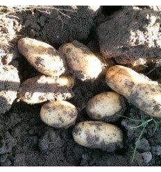 DITTA kartofler, SOLSKIN