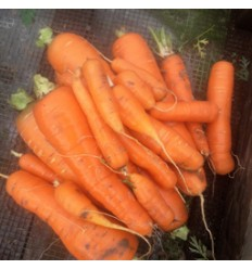 Gulerødder. SOLSKIN