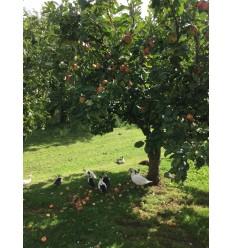 James Grieve æbler 1 kg Risto Dall