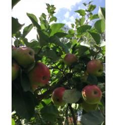 James Grieve æbler 2 kg Risto Dall